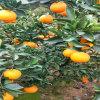 苦橙油厂家生产原料  冷榨品苦橙皮油