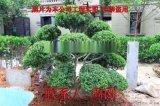 苏州造型黄杨培育种植基地 大型精品造型黄杨苗圃