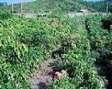 供應荔枝苗,多品種種類數量10萬株
