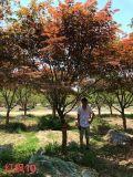 红枫树_近期成都中国红枫_报价_图片_名川园艺场