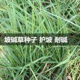 批發披鹼草種子 耐旱耐鹼草坪種子優質 抗風沙護坡沙量大優惠保養
