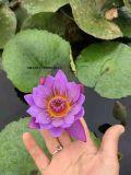 承接睡莲种植 观赏睡莲种植  睡莲苗基地