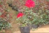 月季花 品種月季 大花月季 豐花月季
