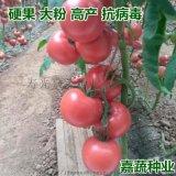 供應越夏大果番茄苗大粉硬果耐熱抗病毒番茄苗