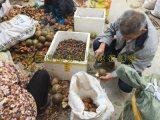 2015年大果紅花油茶種子10萬斤 紅花油茶籽價格