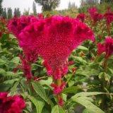 鳳尾雞冠花種子庭院室外四季種易活盆栽耐旱室外花卉扇狀雞冠花籽