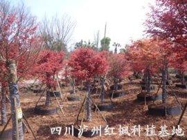 红枫基地;红枫景观树