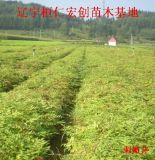 刺嫩芽小苗、刺嫩芽种苗基地