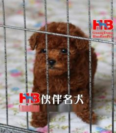 广州哪里有卖泰迪熊 广州泰迪熊一只多少钱