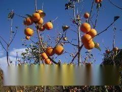 1米柿子苗 阳丰甜柿子苗 5-15公分柿子树 山西柿子苗
