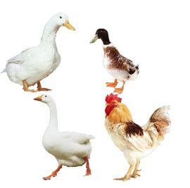 禽用益生素健美禽