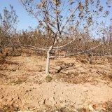 8公分苹果树 10公分占地苹果树产地