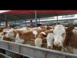 遼寧養牛場