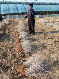 吉林白刺果苗繁育基地 ,白刺果苗木公司