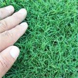 沭阳草坪基地直销百慕大马尼拉果岭草四季青草坪