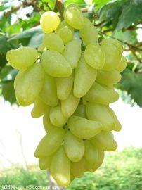 全国**的新品种葡萄苗基地 新品种葡萄苗品种
