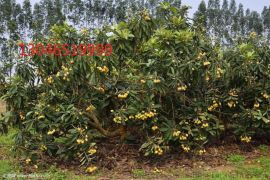 2公分枇杷樹、3公分枇杷樹