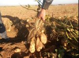 内蒙古土豆种子