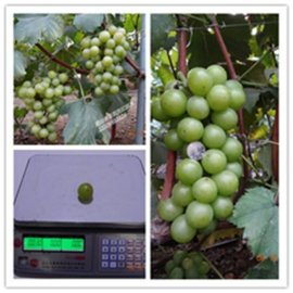 绿皮罗马绿宝石葡萄苗 嫁接大粒晚熟罗马绿宝石葡萄苗
