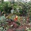 山西農戶直銷陽豐甜柿苗  正宗陽豐甜柿苗產地