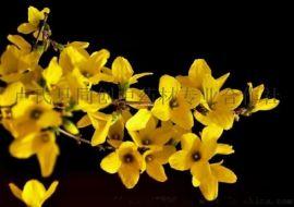 藥用連翹樹苗,盧氏縣脫貧主打品種,中藥材種子種苗