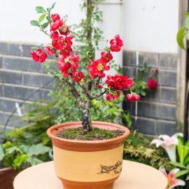 重瓣海棠花苗花卉盆栽盆景老桩室内外观花绿植物庭院阳台四季开花