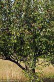 盐城12公分梨树基地树苗批发  梨树价格