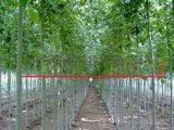 5公分白蜡树最新价格表