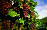 葡萄种植专用石膏(硫酸钙)肥料