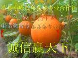 大量供应莘县久红瑞洋香瓜
