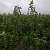南方果樹苗種植 櫻桃苗 柿子苗 李子苗 品種全 效益好
