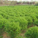 直销批发大量供应优质绿化苗水腊 水蜡小苗 水蜡工程树苗量大从优