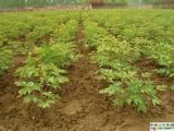 供应牡丹苗 1-3年牡丹苗 药用牡丹苗 挂果牡丹苗 牡丹苗价格