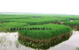 供应山东芦苇种植基地专业水生植物芦苇苗