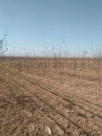 4公分苹果树 5公分苹果树产地