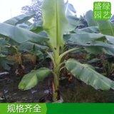 浙江10公分芭蕉树报价,浙江质量好的芭蕉树