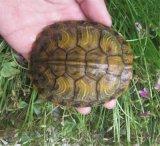 大巴西龟 红耳巴西龟 巴西龟养殖场 广东龟活体
