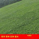 成都綠化草坪馬蹄金草皮,草皮卷