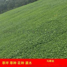 成都绿化草坪马蹄金草皮,草皮卷