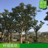 廣東全冠香樟綠化造景,廣東20公分香樟袋苗成活率高