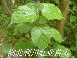 豆腐樹/1米左右豆腐樹苗