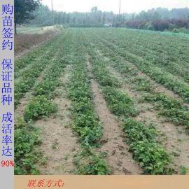 山東草莓苗批發 4葉一心 章姬草莓苗