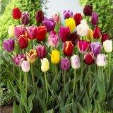 10棵郁金香種球花苗花種子重瓣四季好養耐寒球根花卉植物綠植盆栽
