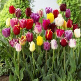 10棵郁金香种球花苗花种子重瓣四季好养耐寒球根花卉植物绿植盆栽