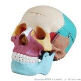 自然大头颅骨骨性着色模型人体骨骼模型