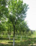 专业栾树花多少钱选绿地家庭农场