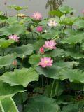 荷花种苗、莲花种子、荷花苗、荷花苗、莲花种植