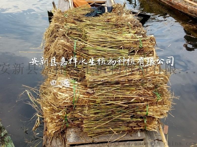 购买芦苇苗 白洋淀芦苇苗种植施工