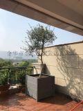 西班牙橄榄树盆景经济林橄榄树盆栽