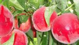 陕西水果苹果梨李子葡萄桃